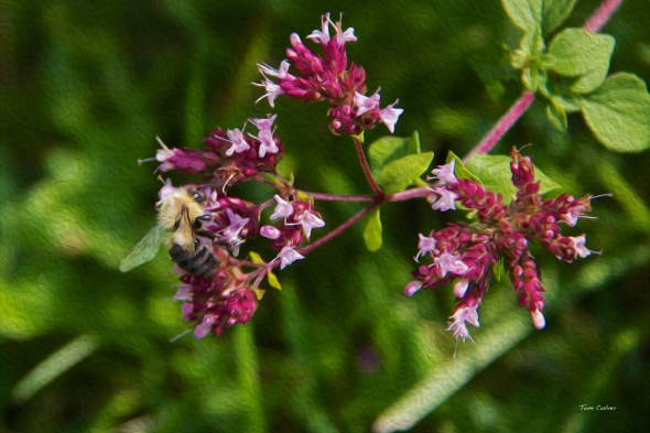 Honey Bee and Oregano
