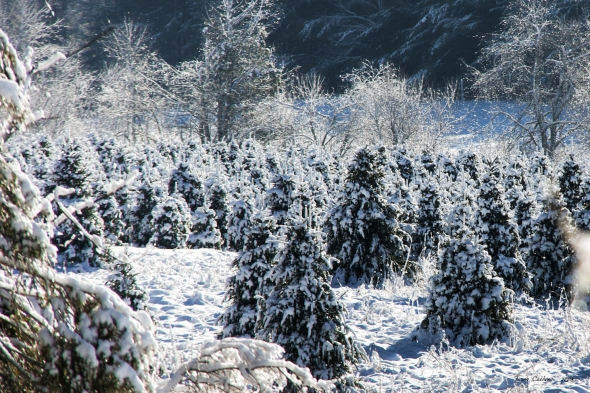 Snow At The Tree Farm