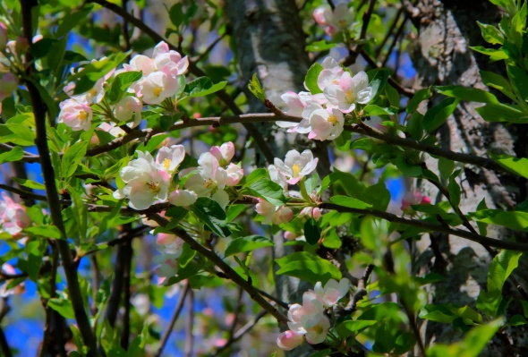 Apple Blossom Time!