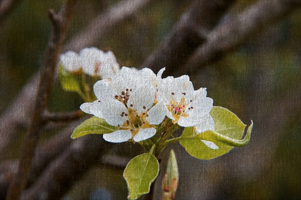 Pear Blossoms On Canvas