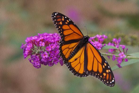 Monarch_8834
