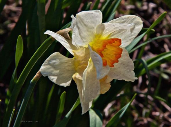Daffodil Splendor